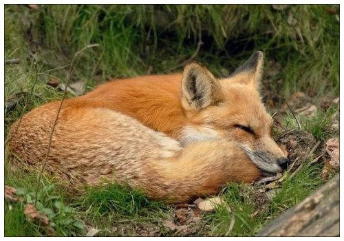 Лиса спит.