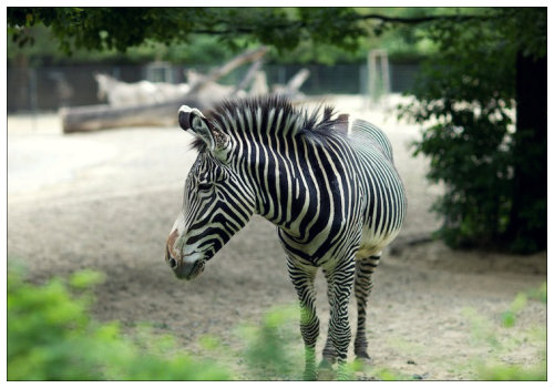 Зебра в зоопарке